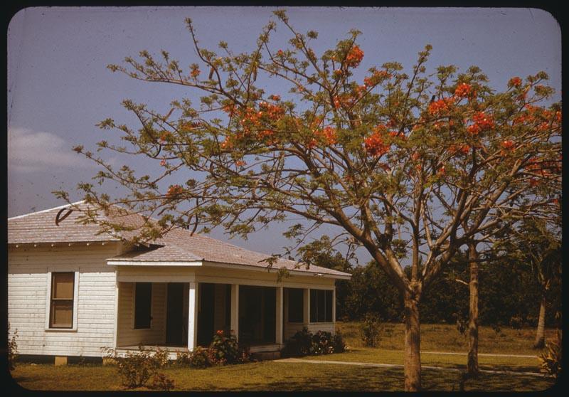 Poinsiana in bloom