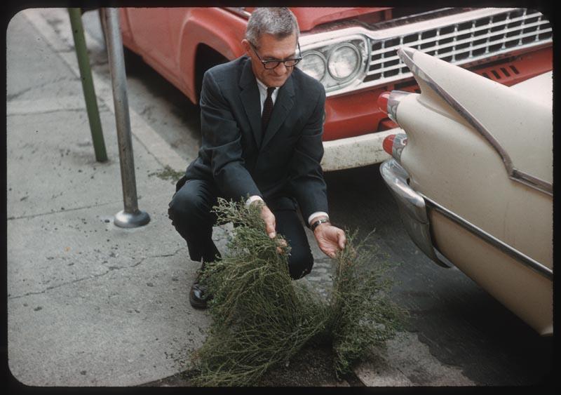 Bob Wiley holds knotweed growing in crack in sidewalk