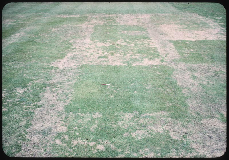 Fusarium on creeping bent vegetatively propageted