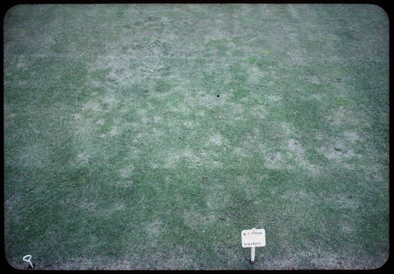 Chewings fescue Golfrood with angular leaf spot (very susceptible)