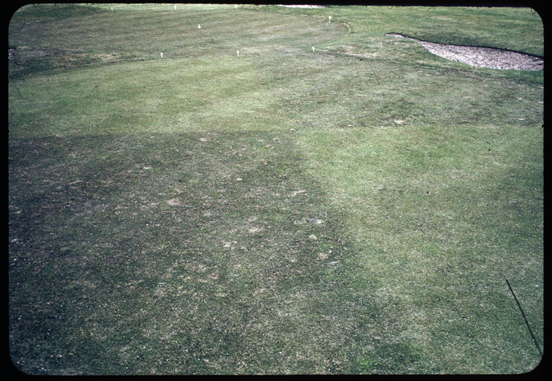 Bentgrass with Poa Annua invading
