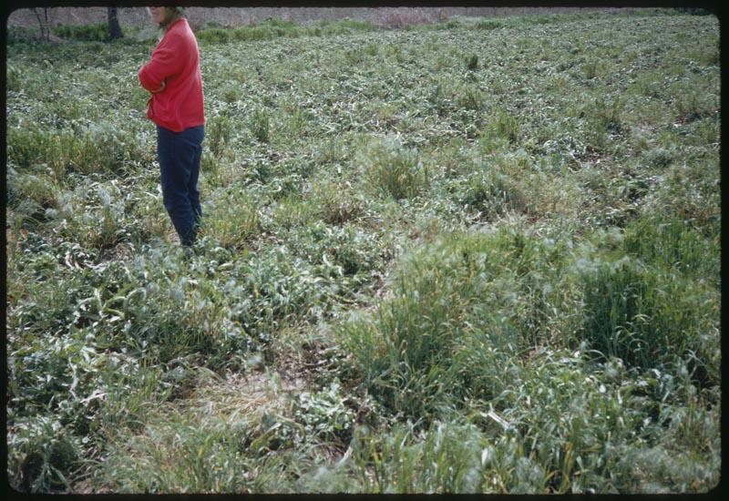 Cheat & thistle Unused soil bank field