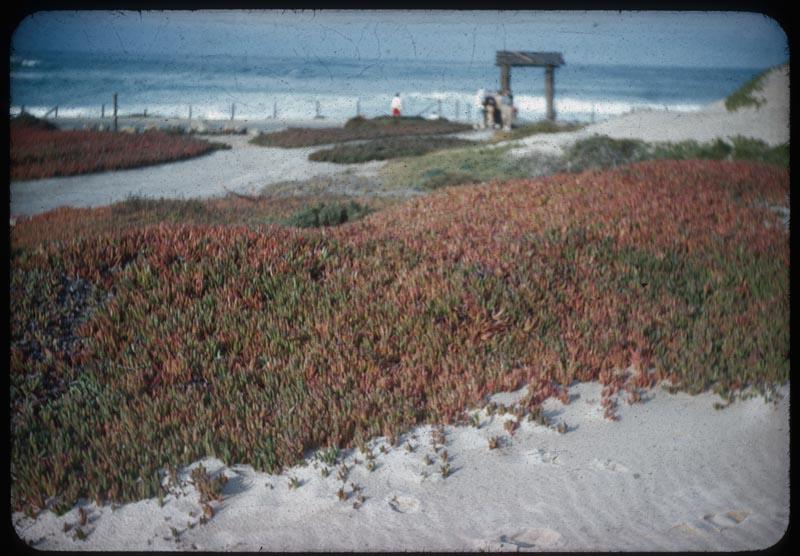 Ice Plant along Ocean