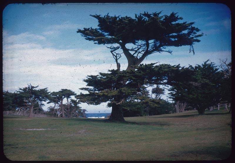 Speciman Cypress Tree