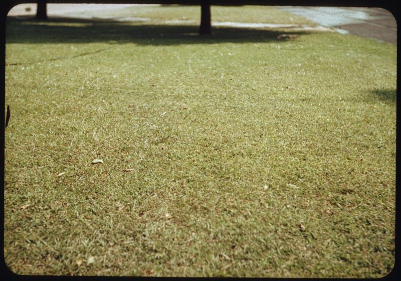 Crabgrass infestation before treatment
