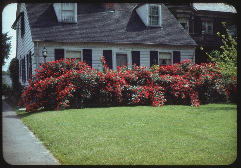 Paul Scarlet roses in bloom