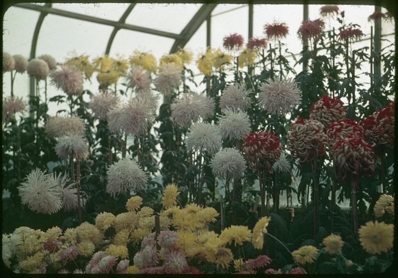 Chrysanthemums Fert. with Milorg.