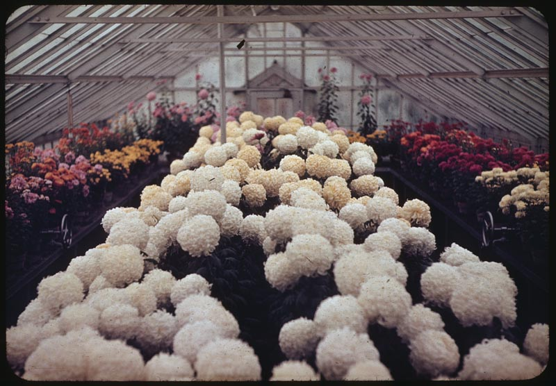 Chrysanthemum display