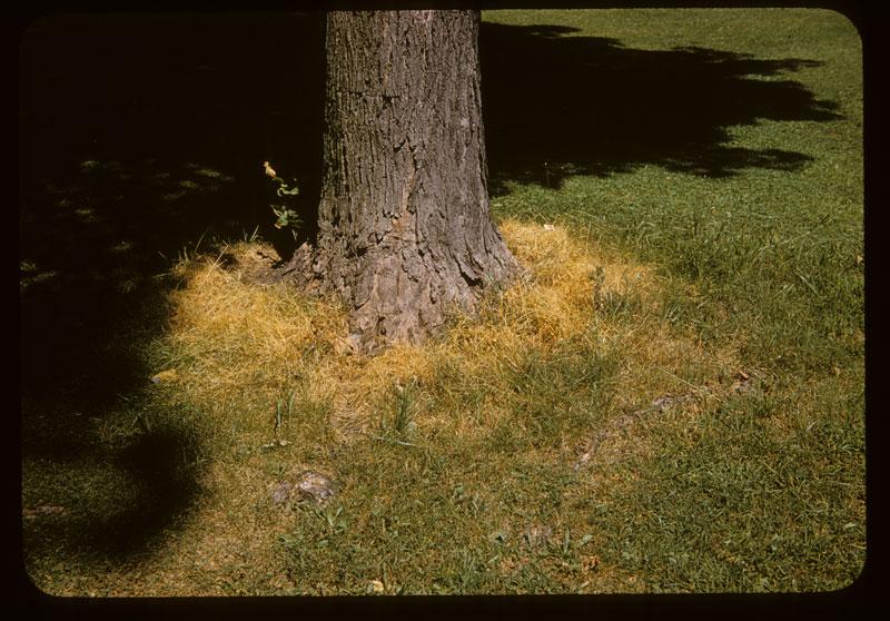 Fuel oil kills vegetation at tree base