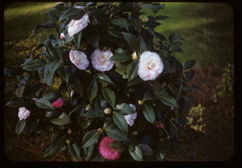 Camellias bloom