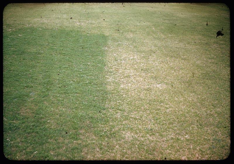Fertilizer makes Poa bigger & better