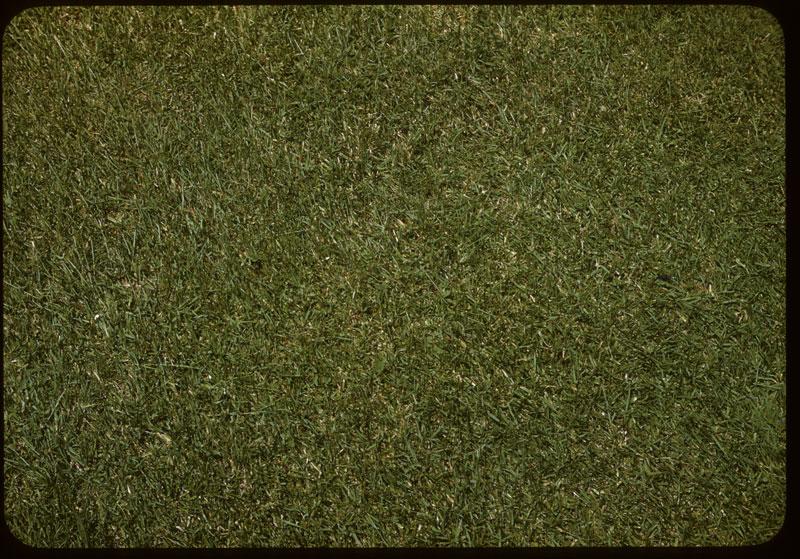 Excellent Merion Lawn close-up