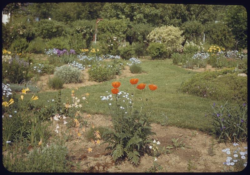 Oriental Poppy in Perennial Garden