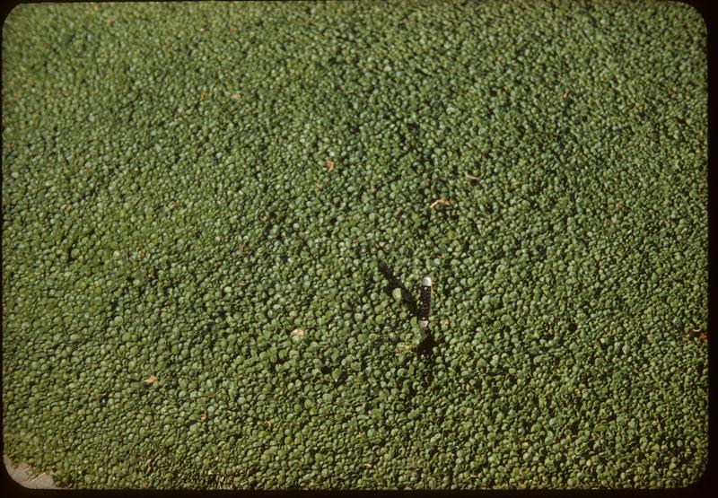 Dicondra Lawn close-up