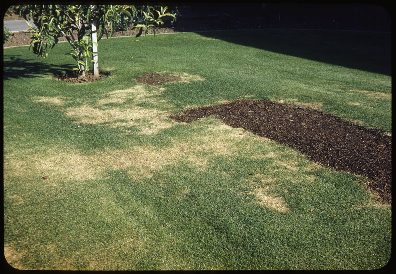 Water induced iron chlorosis on Merion lawn
