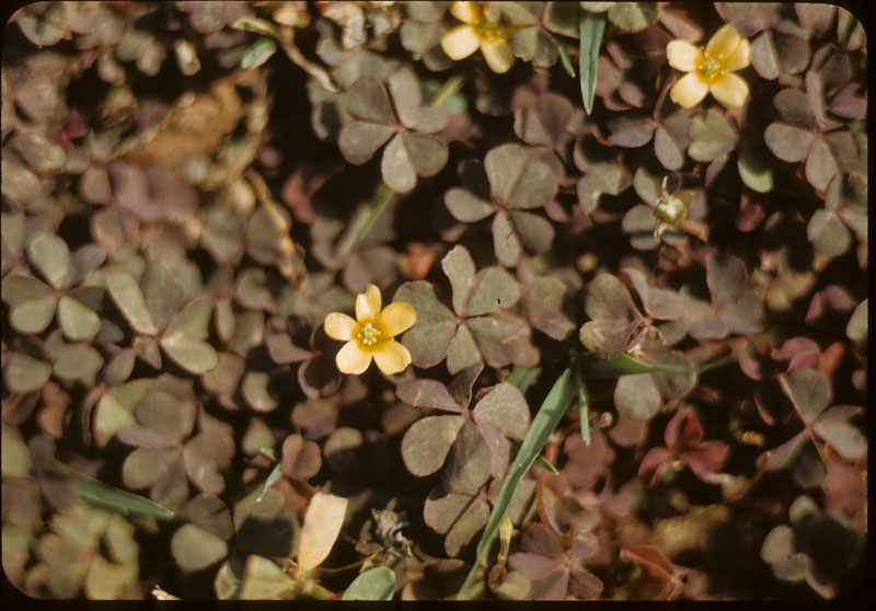 Oxalis (red)