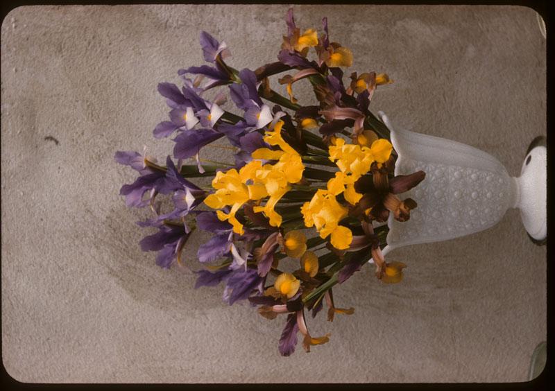 Spanish Iris