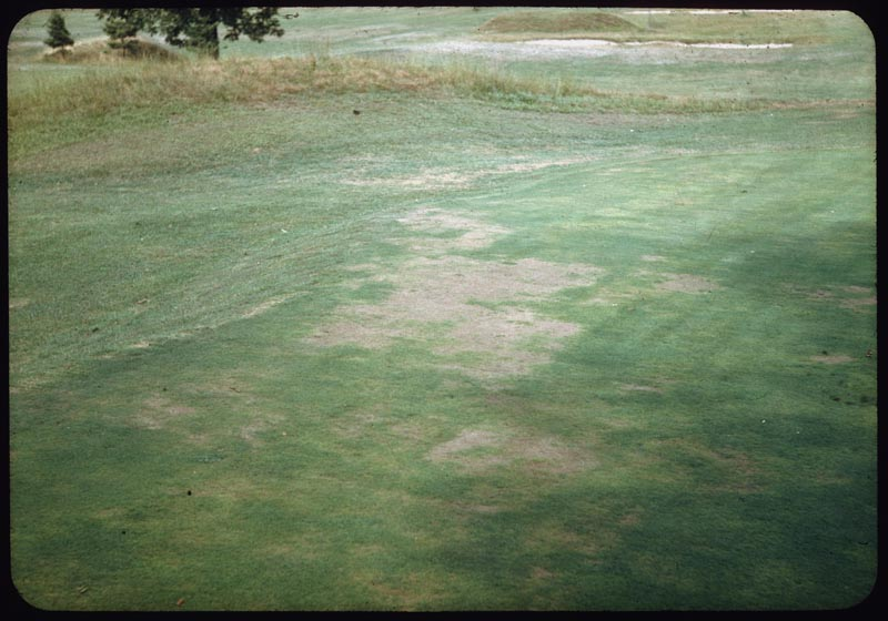 Iron Chlorosis caused loss of turf on G