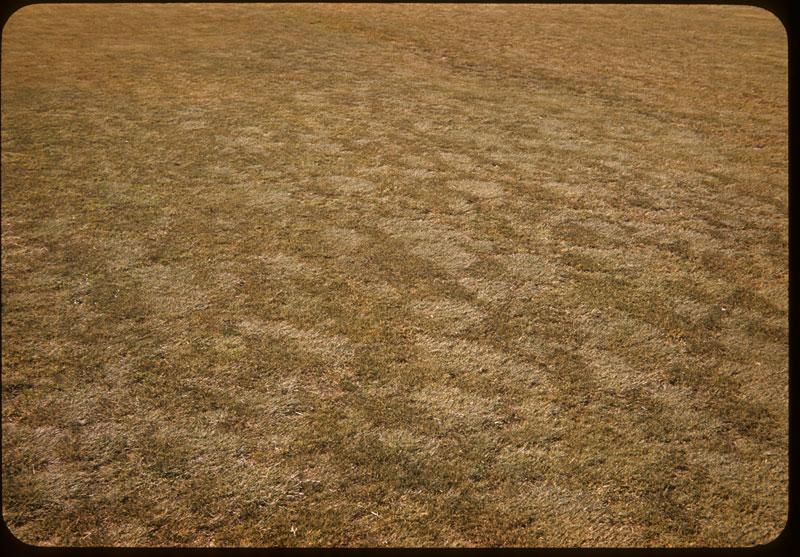 Salt Grass F