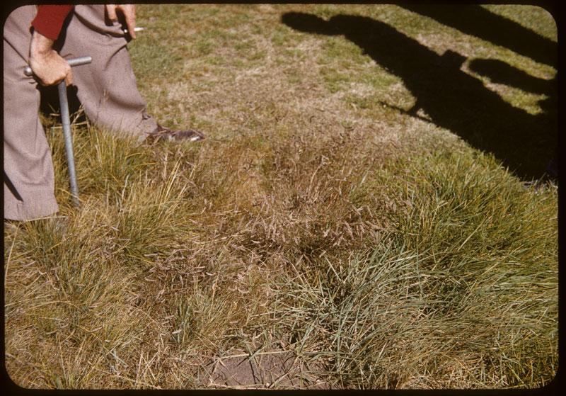 Prairie Wool grass in rough