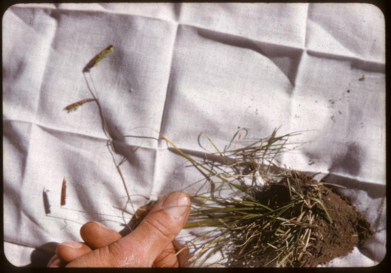 Prairie Wool shows seed head