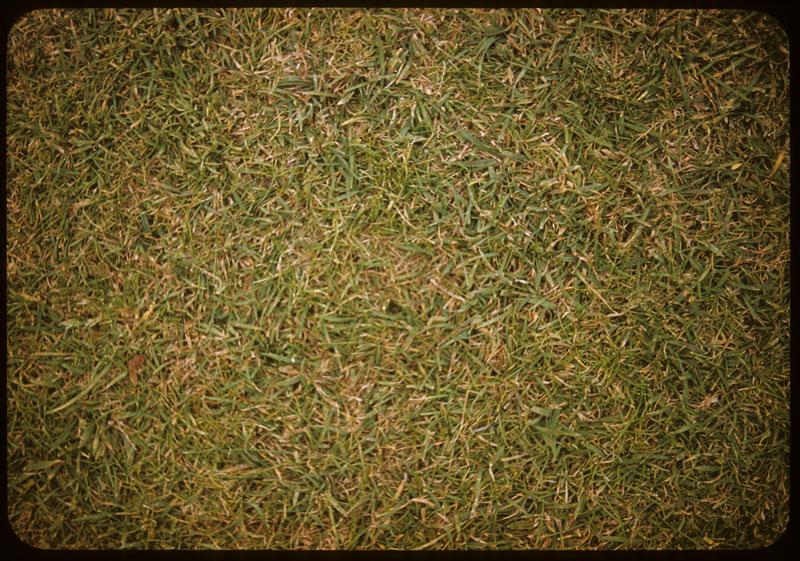 Good Fescue K. Blue lawn close-up
