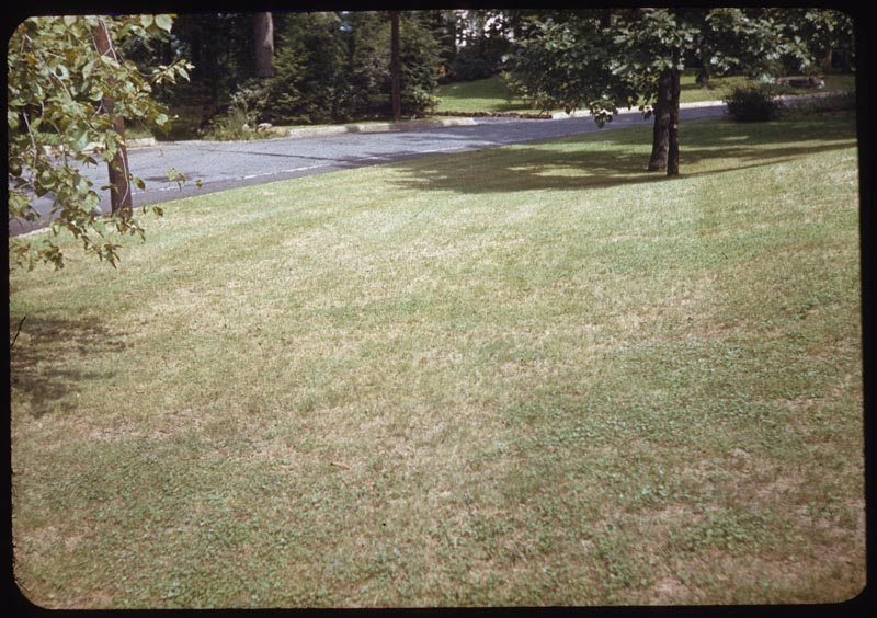 Chinch bug damage creeping bent lawn