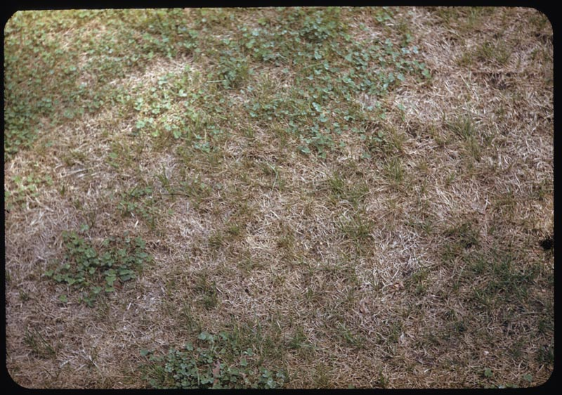 Chinch bug damage creeping bent lawn