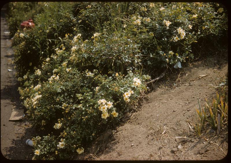 Rosa Wuchuriana  Blooms