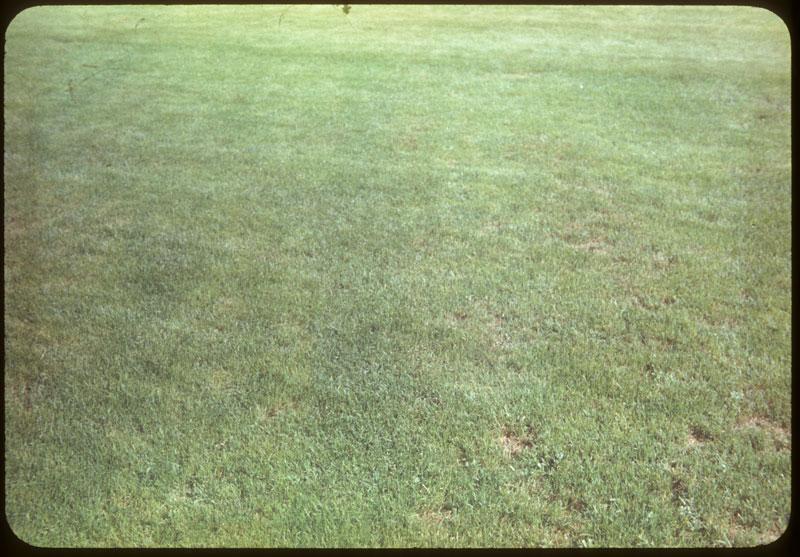K. Blue - No leafspot strips receiving extra 5-10-5
