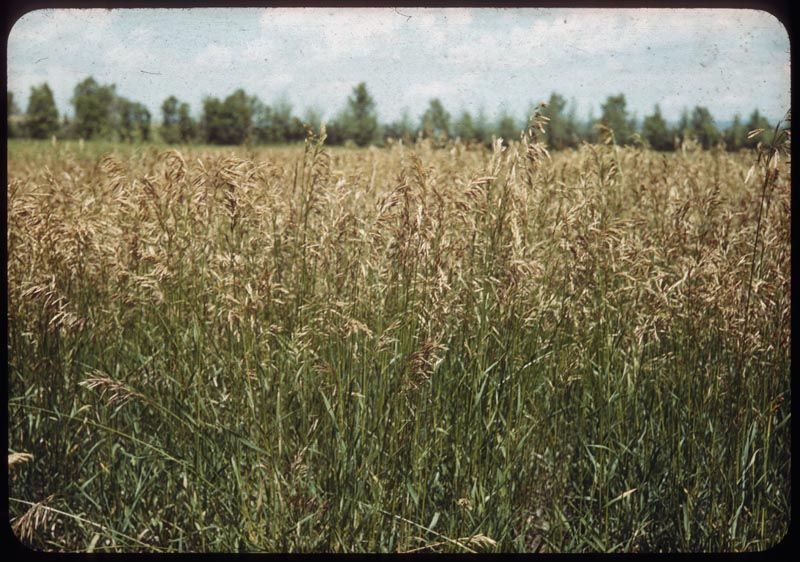 Brome grass in flower