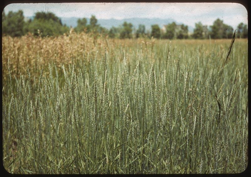 Western wheat grass Brome behind
