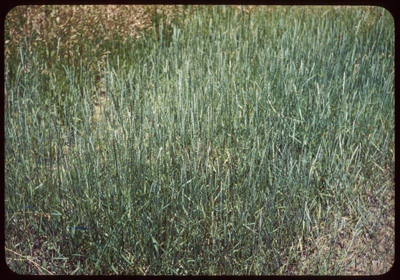 Western wheat grass