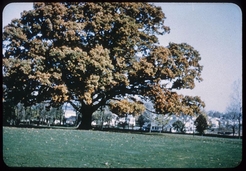 Magnificant Oaks