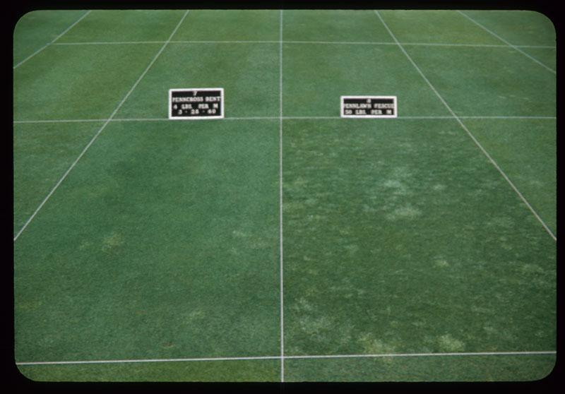 Penncross vs. Pennlawn