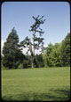 Thumbnail: Camargo Pine-Only one of its Kind World