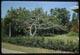 Thumbnail: Tropical Shaving Brush Tree