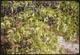Thumbnail: Black Jack Oak