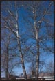 Thumbnail: Cottonwood Trees in Winter