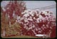 Thumbnail: Rhododendron in bloom