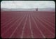 Thumbnail: Newly seeded bent rows