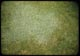 Thumbnail: Yorkshire Fog    Velvet grass in lawn