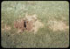 Thumbnail: June beetle grub injury watered F