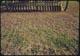 Thumbnail: Alfalfa Disc. Seeding fairways after Sod. Ars. spray