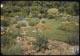 Thumbnail: Oriental Poppy in Perennial Garden