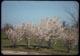 Thumbnail: Flowering cherries