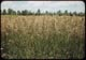 Thumbnail: Brome grass in flower
