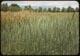 Thumbnail: Western wheat grass Brome behind
